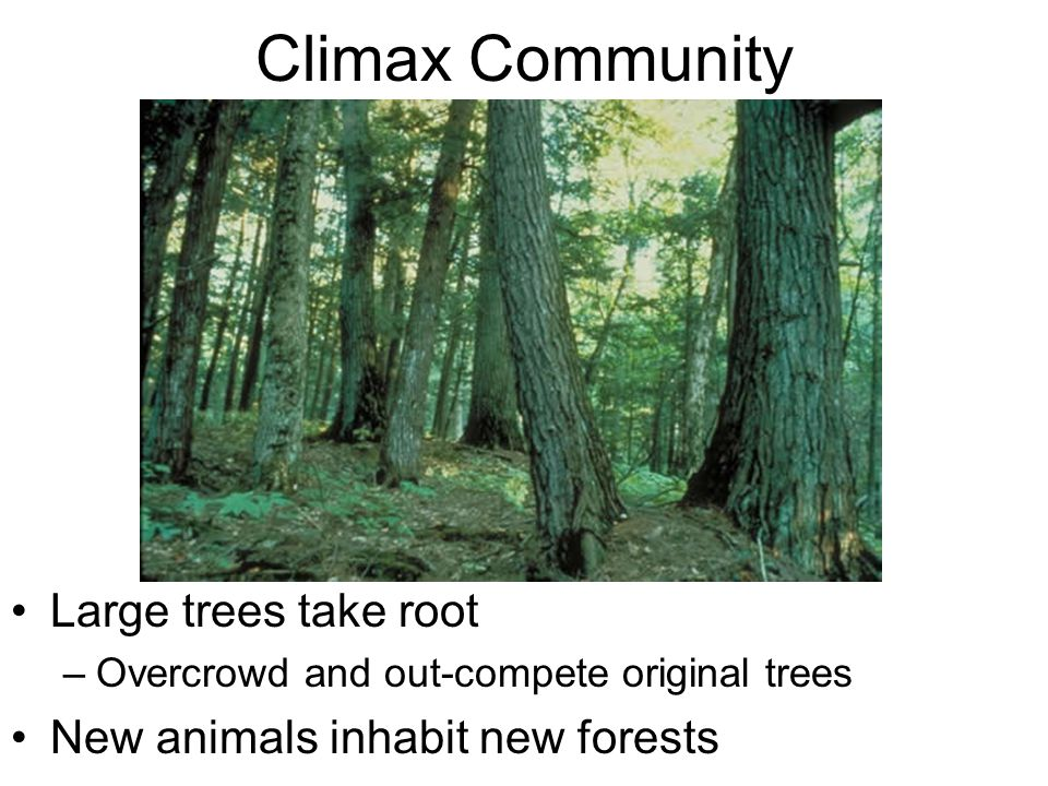 Climax Community Large trees take root New animals inhabit new forests