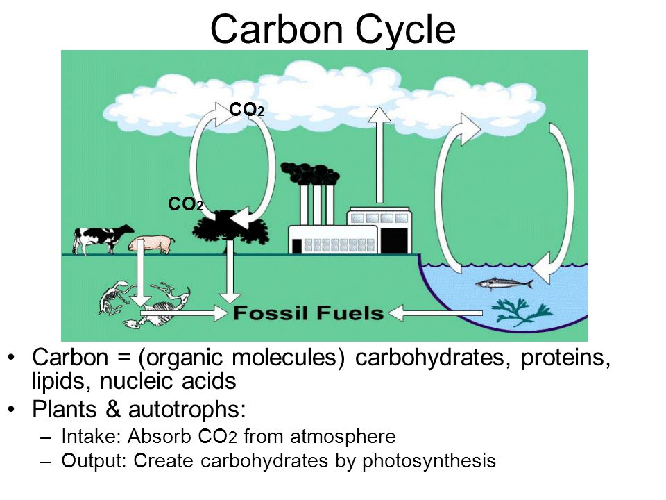 Carbon Cycle CO2. CO2. sugars. Carbon = (organic molecules) carbohydrates, proteins, lipids, nucleic acids.