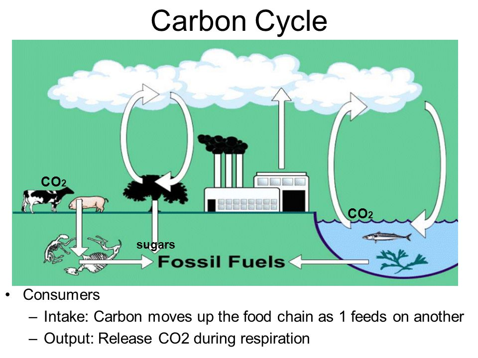 Carbon Cycle Consumers