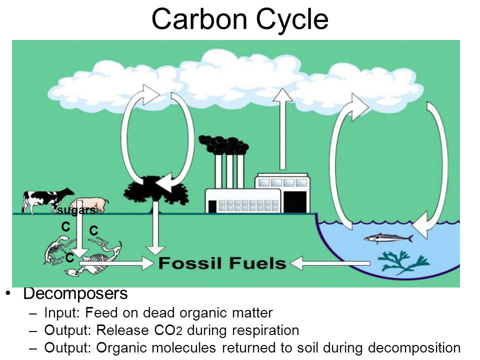 Carbon Cycle Decomposers Input: Feed on dead organic matter