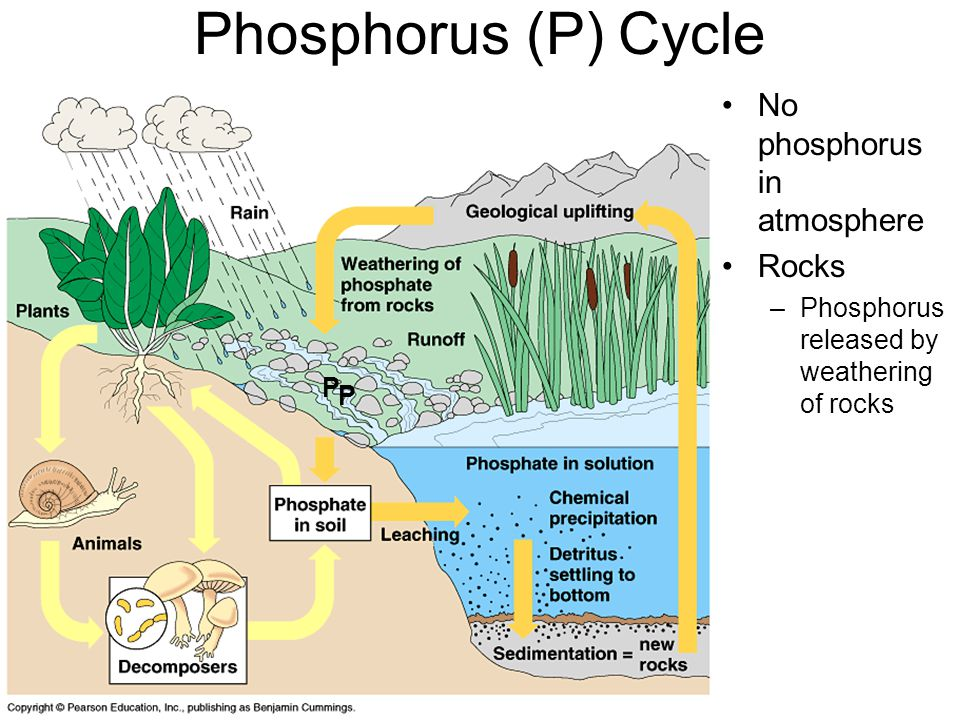 Phosphorus (P) Cycle No phosphorus in atmosphere Rocks