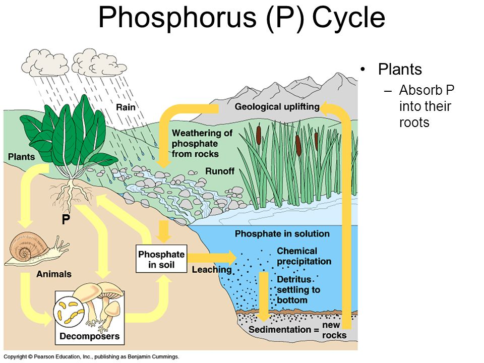 Phosphorus (P) Cycle Plants Absorb P into their roots P