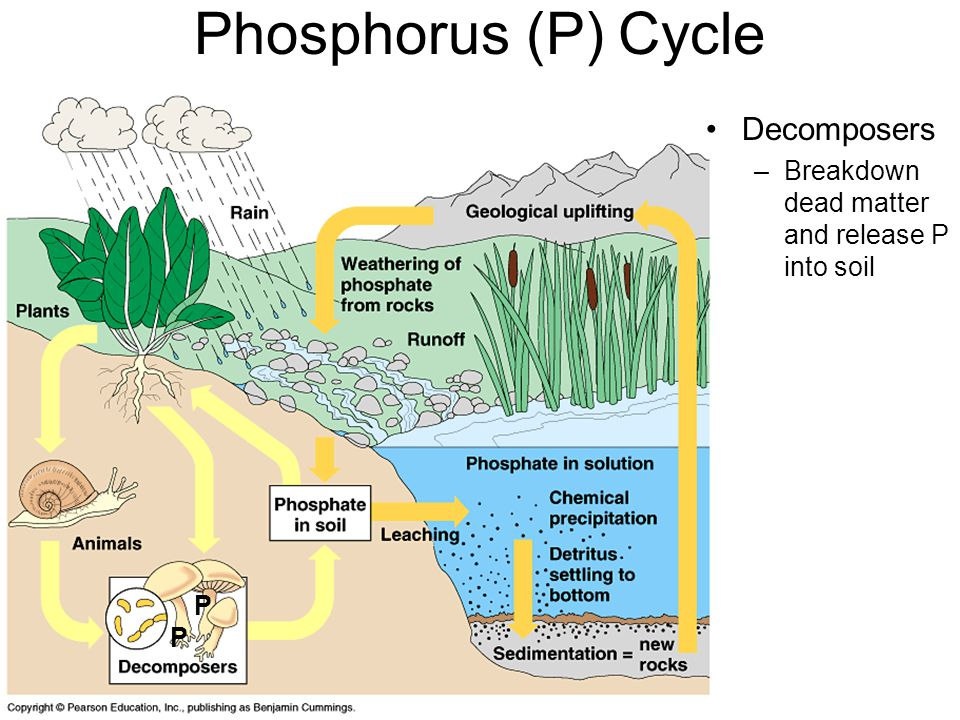 Phosphorus (P) Cycle Decomposers