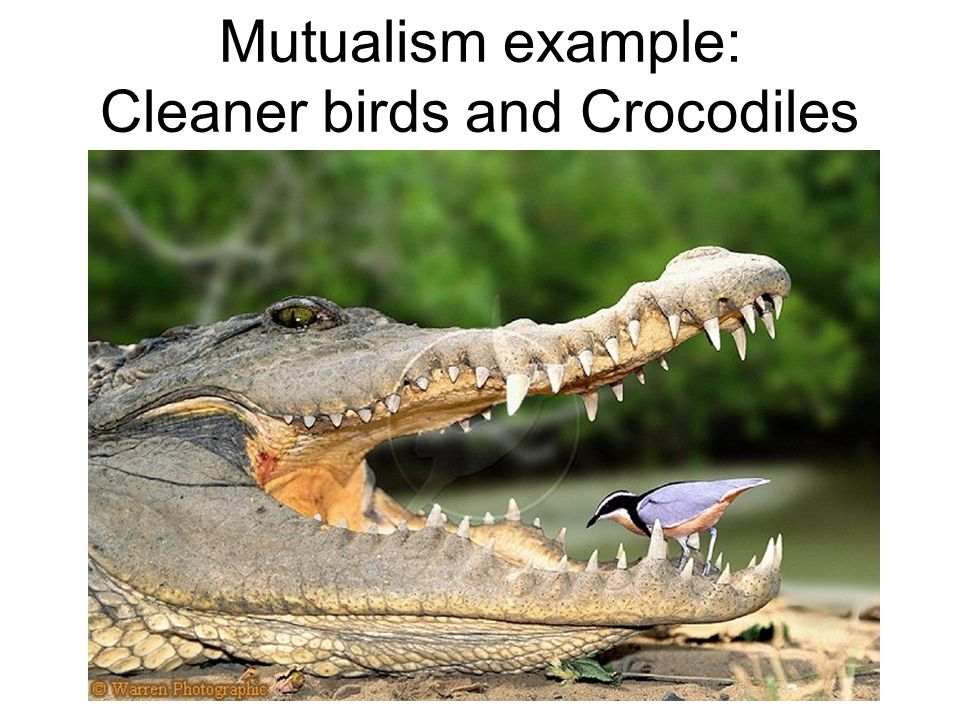 Mutualism example: Cleaner birds and Crocodiles
