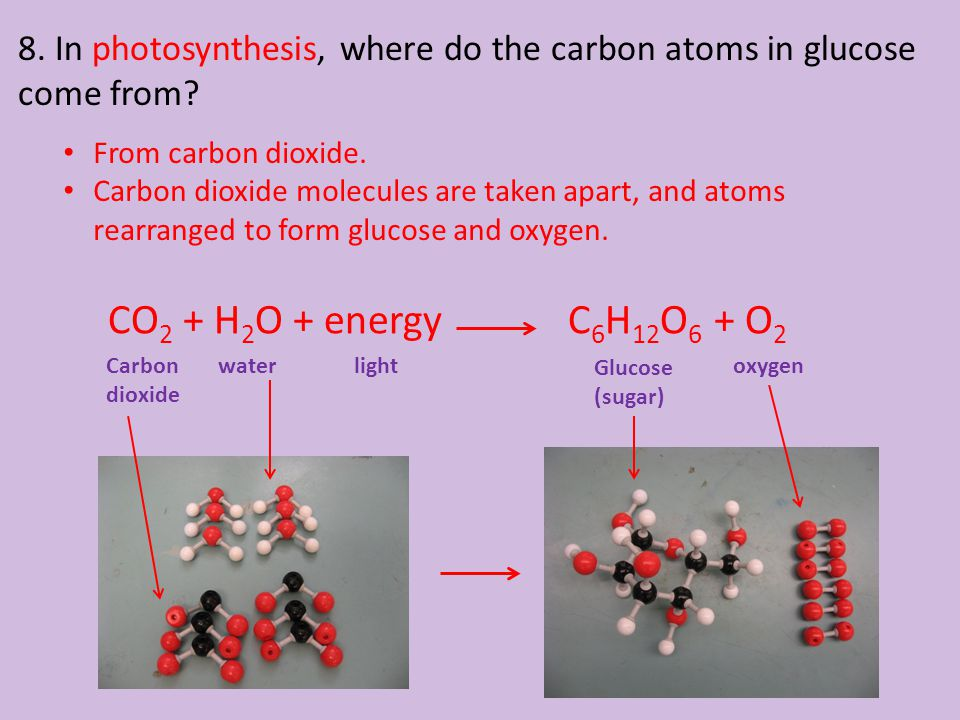 8. In photosynthesis, where do the carbon atoms in glucose come from