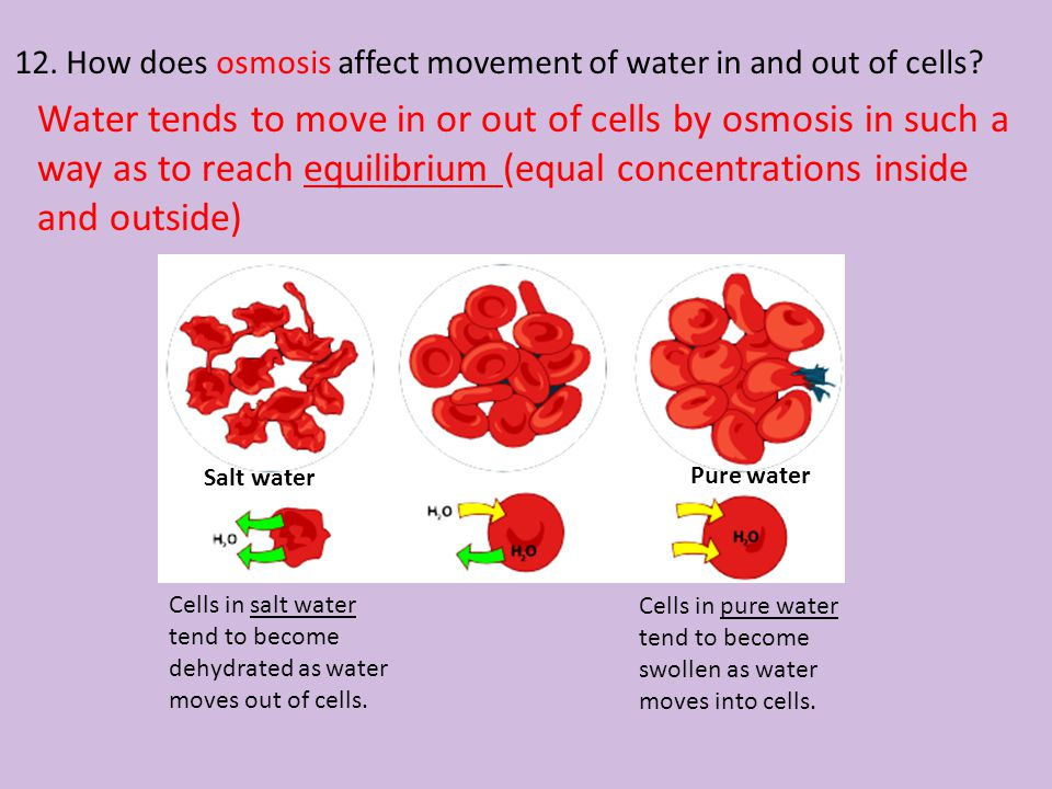 12. How does osmosis affect movement of water in and out of cells