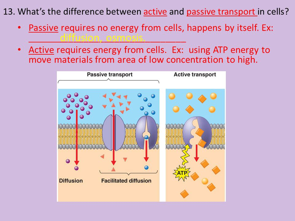 13. What's the difference between active and passive transport in cells