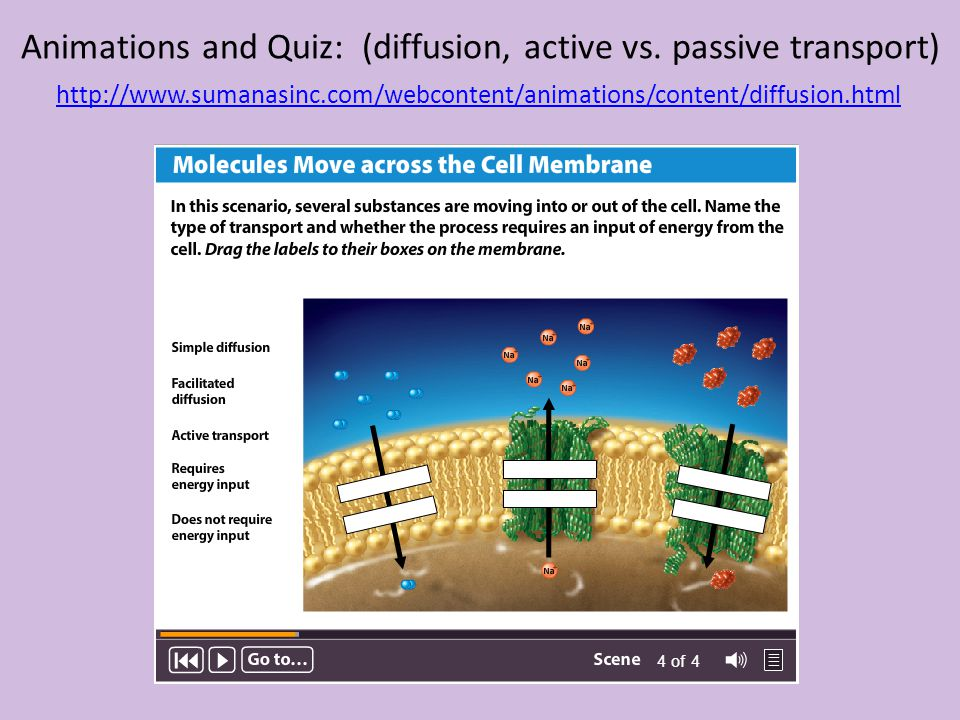 Animations and Quiz: (diffusion, active vs. passive transport)
