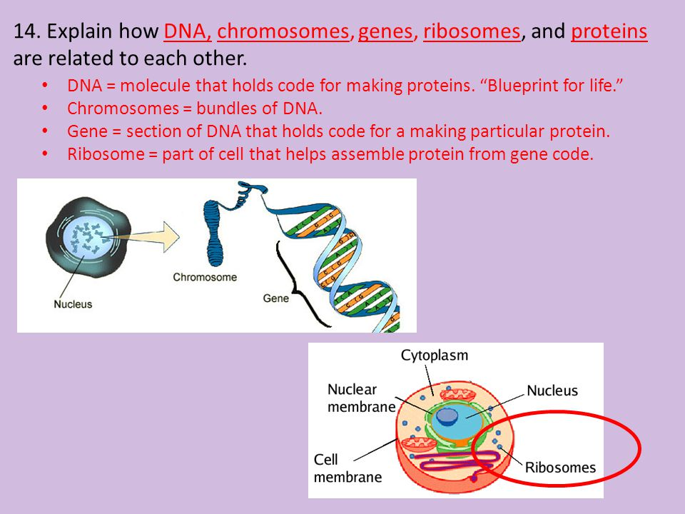 14. Explain how DNA, chromosomes, genes, ribosomes, and proteins are related to each other.
