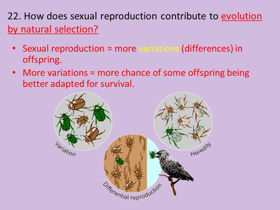 22. How does sexual reproduction contribute to evolution by natural selection