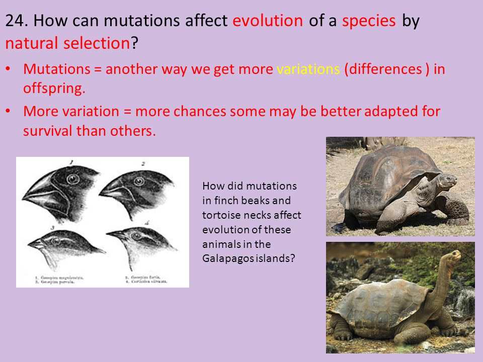 24. How can mutations affect evolution of a species by natural selection