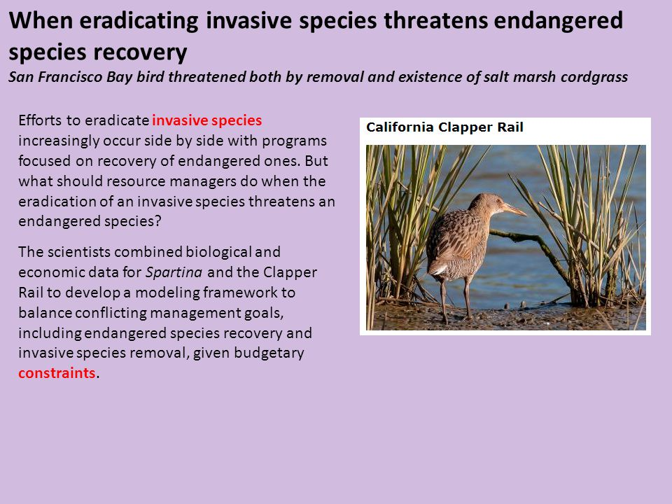 When eradicating invasive species threatens endangered species recovery