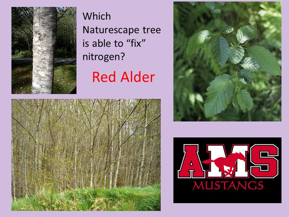 Which Naturescape tree is able to fix nitrogen
