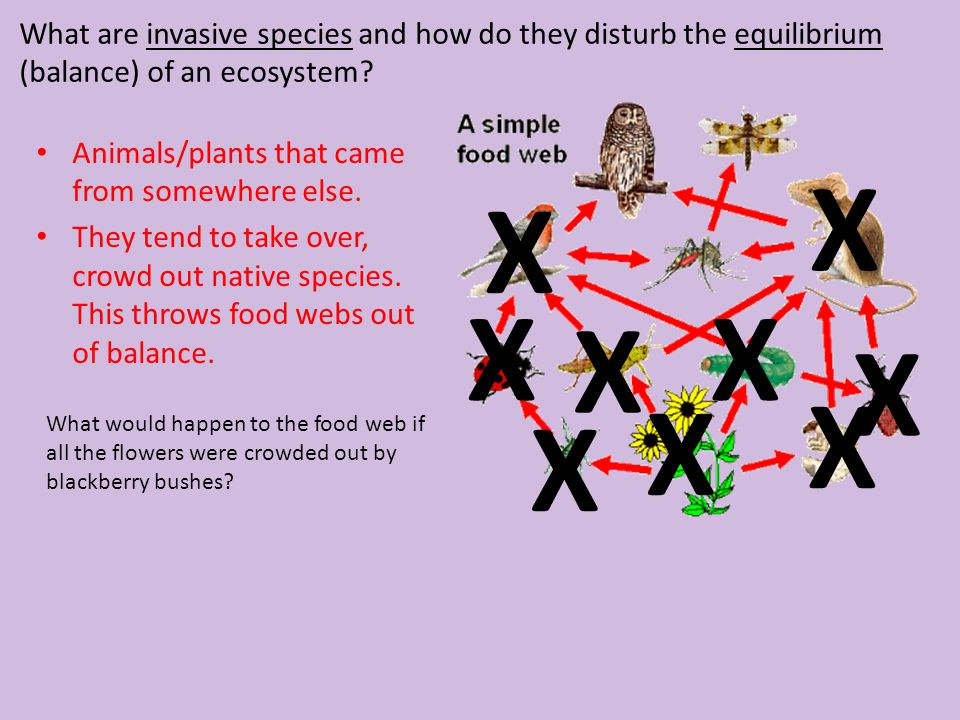 What are invasive species and how do they disturb the equilibrium (balance) of an ecosystem