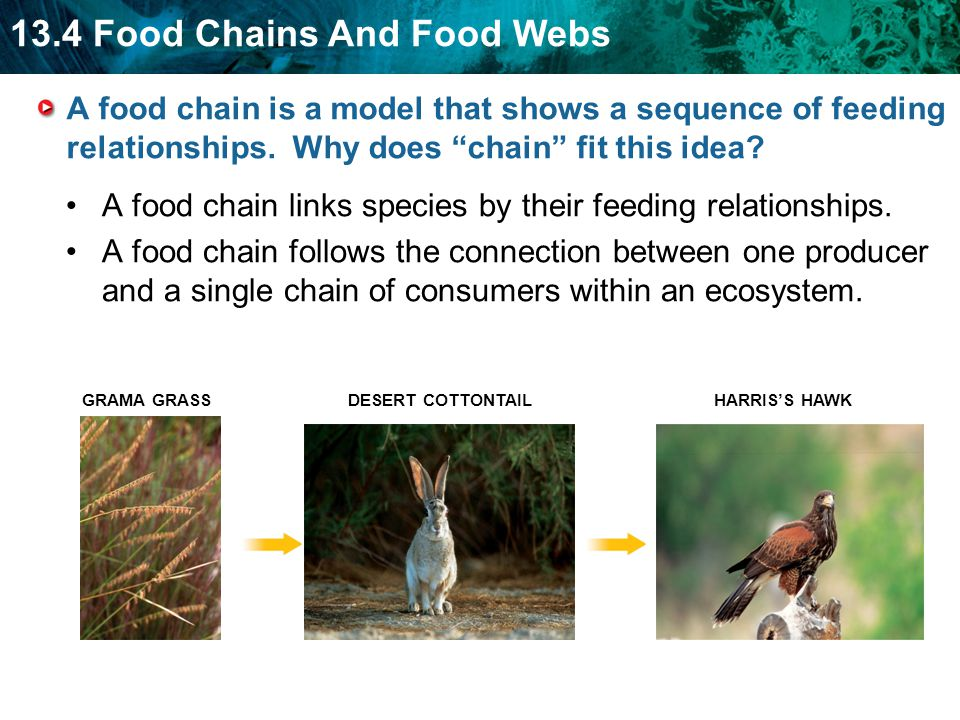 A food chain links species by their feeding relationships.