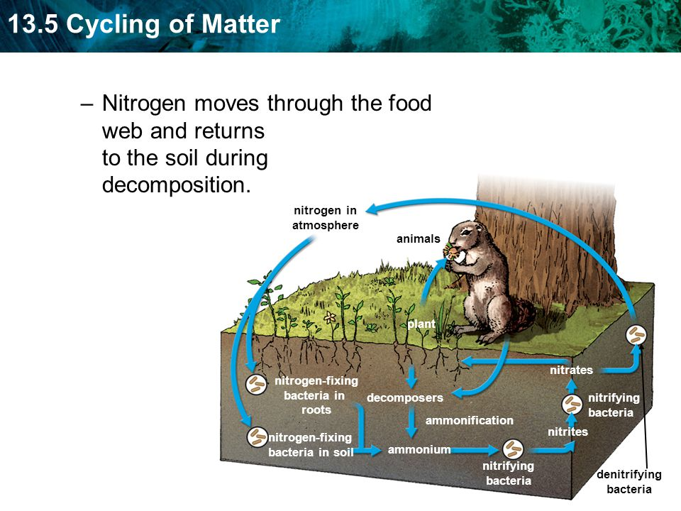 Nitrogen moves through the food web and returns to the soil during decomposition.