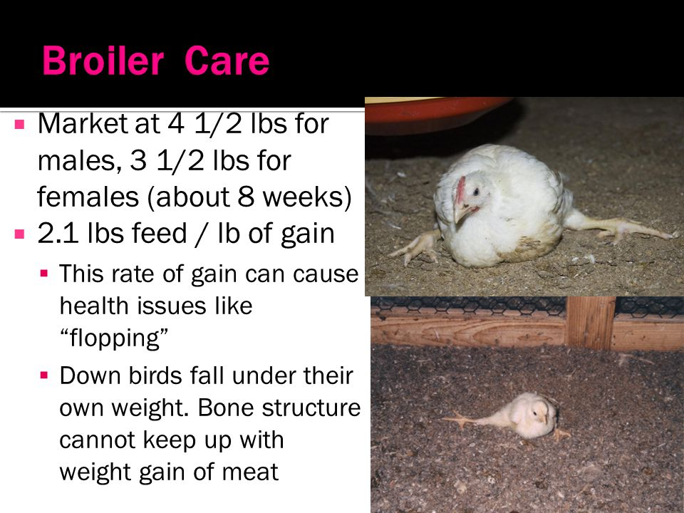 Broiler Care Market at 4 1/2 lbs for males, 3 1/2 lbs for females (about 8 weeks) 2.1 lbs feed / lb of gain.