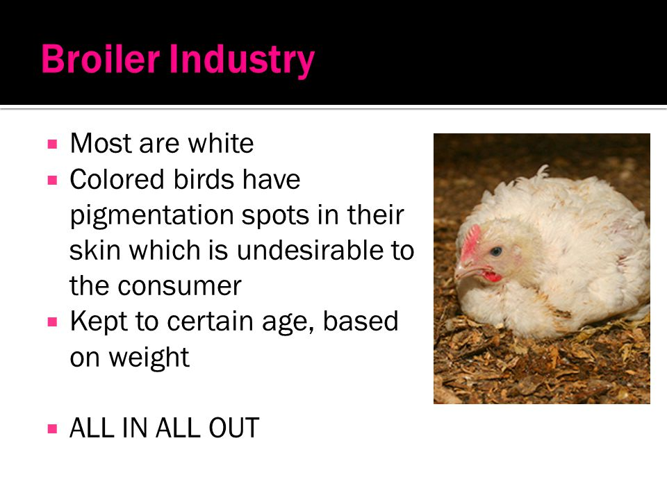 Broiler Industry Most are white
