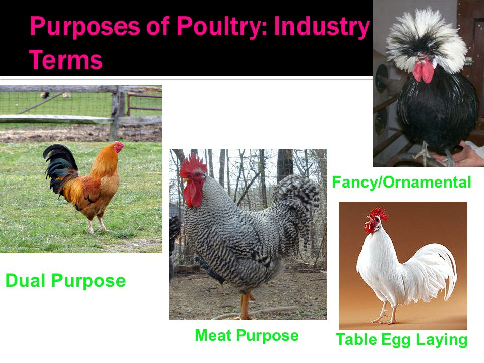 Purposes of Poultry: Industry Terms