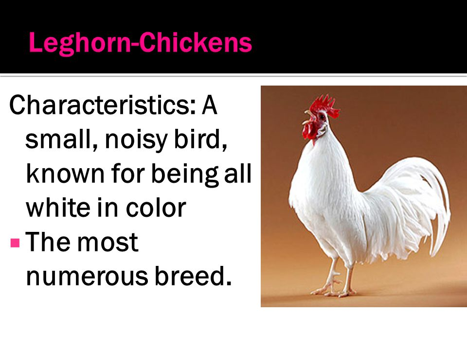 Leghorn-Chickens Characteristics: A small, noisy bird, known for being all white in color.