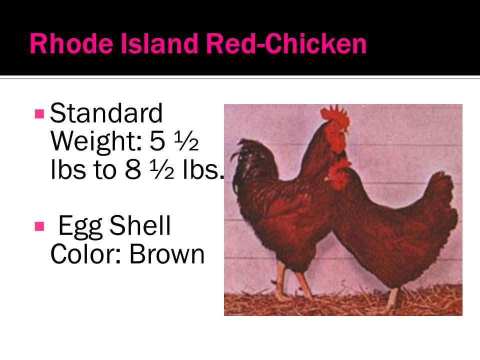 Rhode Island Red-Chicken