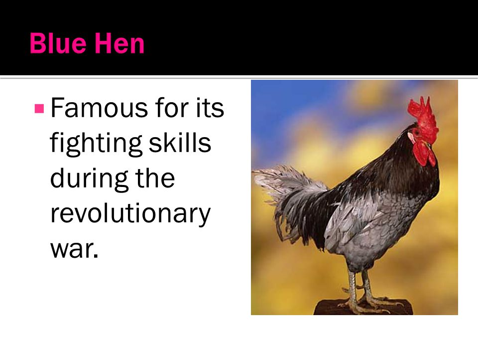 Blue Hen Famous for its fighting skills during the revolutionary war.