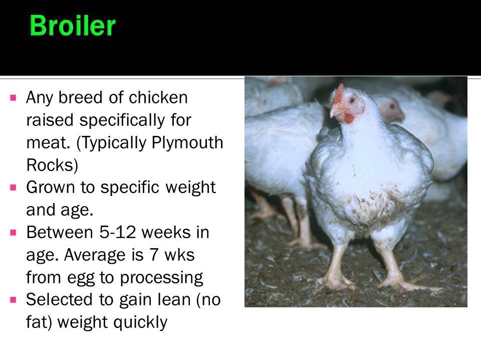 Broiler Any breed of chicken raised specifically for meat. (Typically Plymouth Rocks) Grown to specific weight and age.