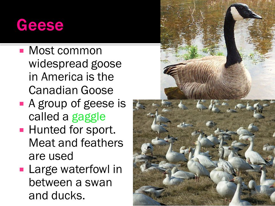 Geese Most common widespread goose in America is the Canadian Goose