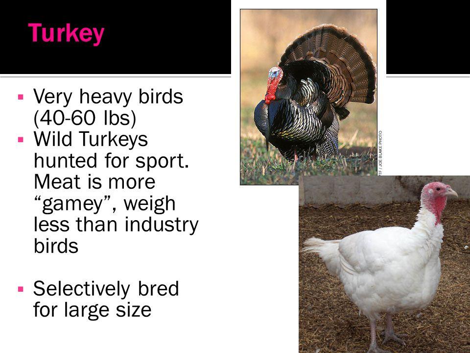 Turkey Very heavy birds (40-60 lbs)