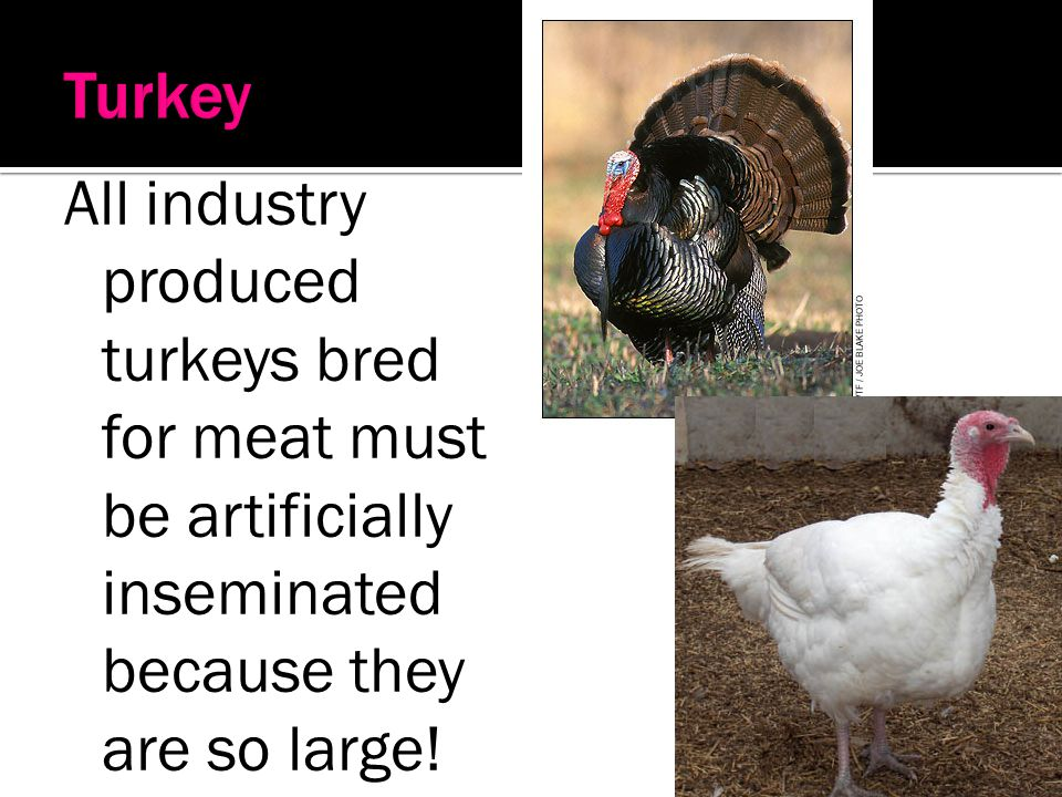 Turkey All industry produced turkeys bred for meat must be artificially inseminated because they are so large!