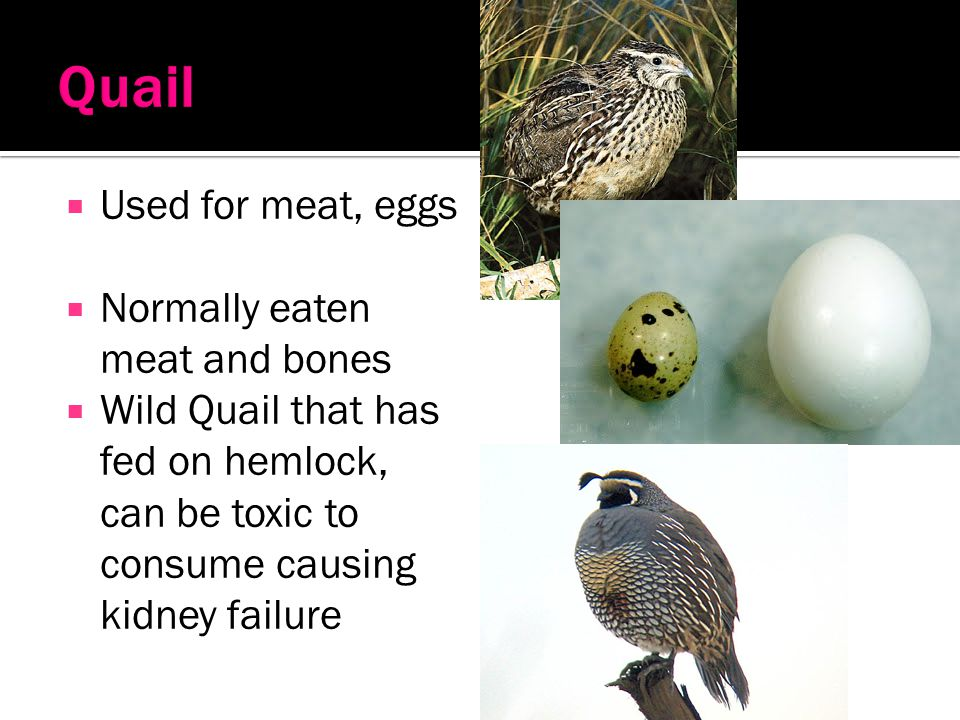 Quail Used for meat, eggs Normally eaten meat and bones