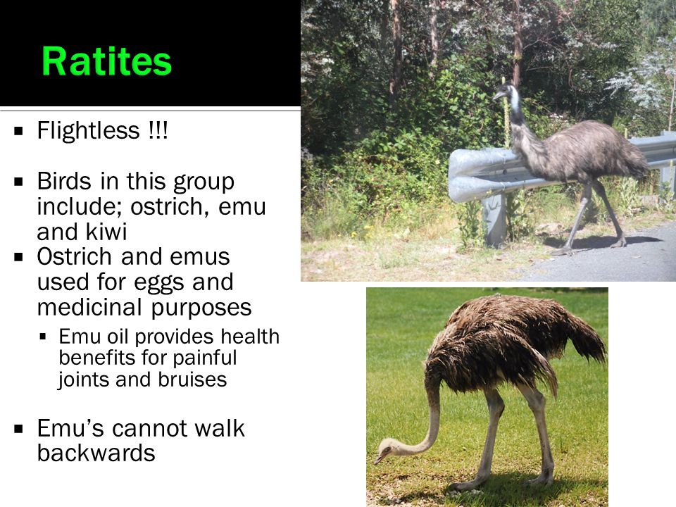 Ratites Flightless !!! Birds in this group include; ostrich, emu and kiwi. Ostrich and emus used for eggs and medicinal purposes.