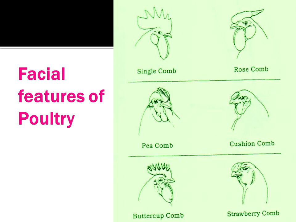 Facial features of Poultry