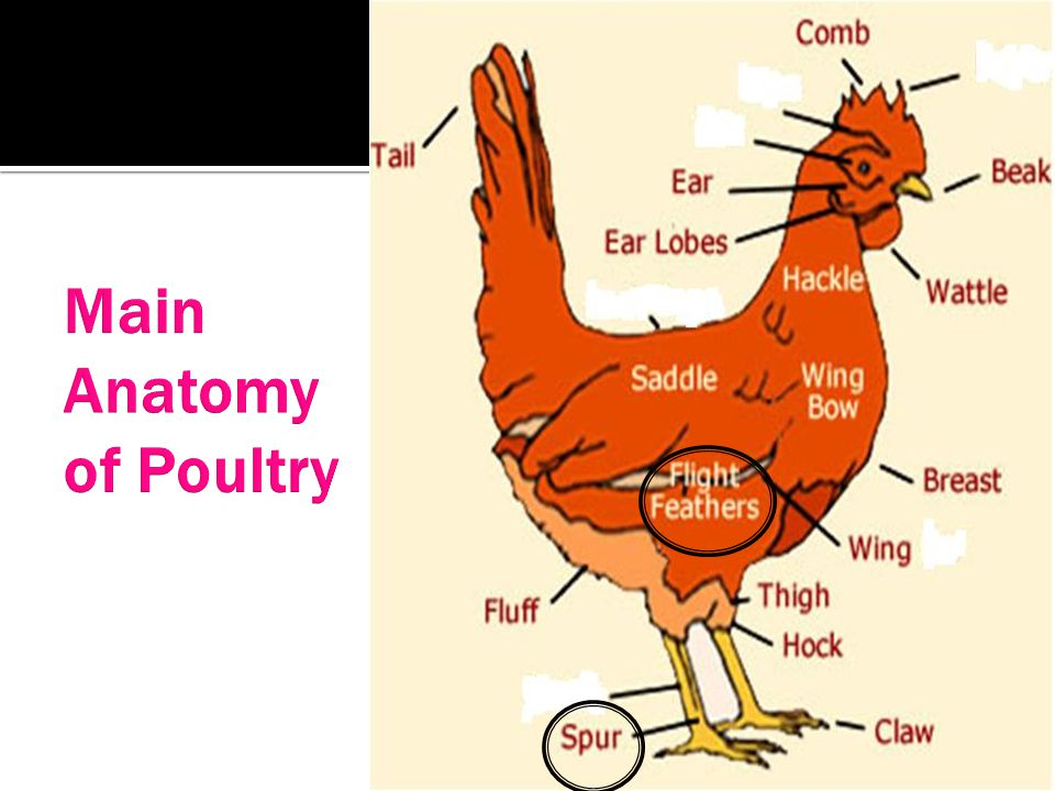 Main Anatomy of Poultry