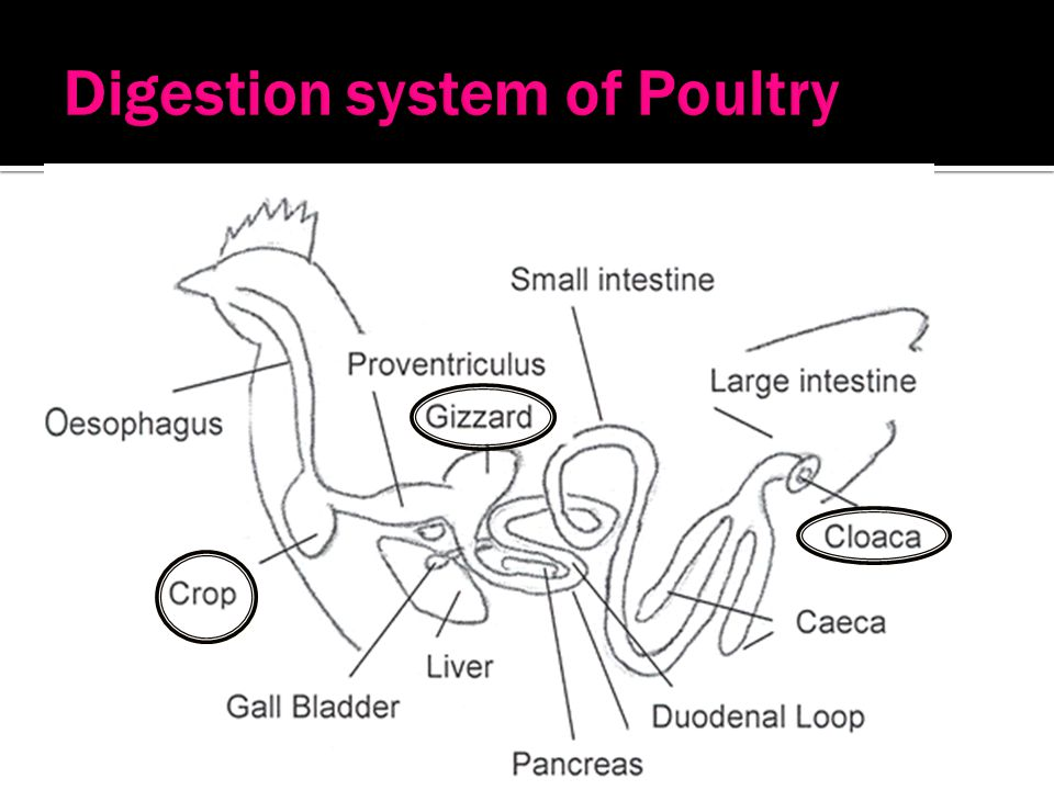 Poultry ppt video online download 42 digestion system of poultry ccuart Choice Image
