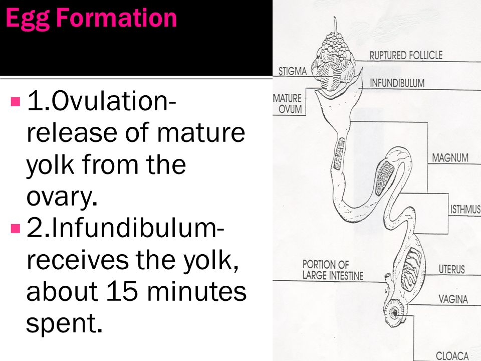 1.Ovulation- release of mature yolk from the ovary.