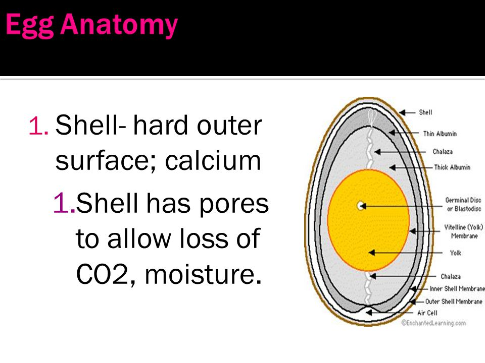 Egg Anatomy Shell- hard outer surface; calcium