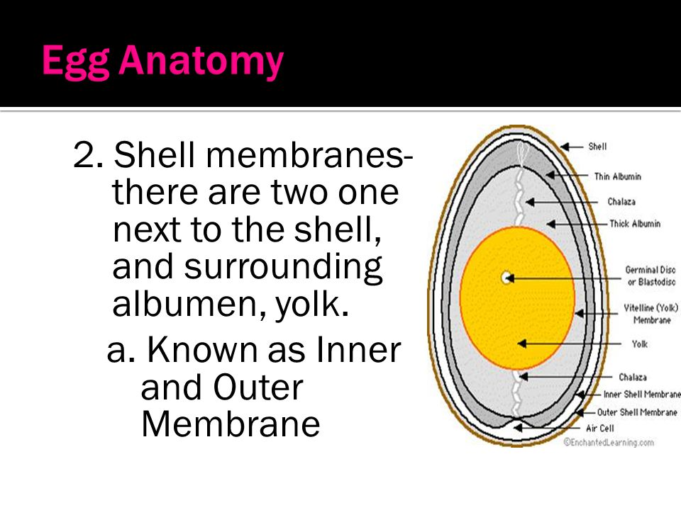Egg Anatomy 2. Shell membranes- there are two one next to the shell, and surrounding albumen, yolk.