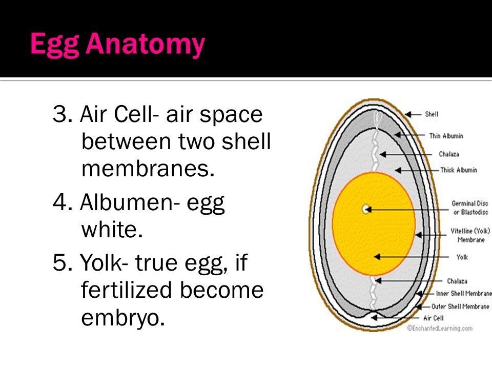 Egg Anatomy 3. Air Cell- air space between two shell membranes.