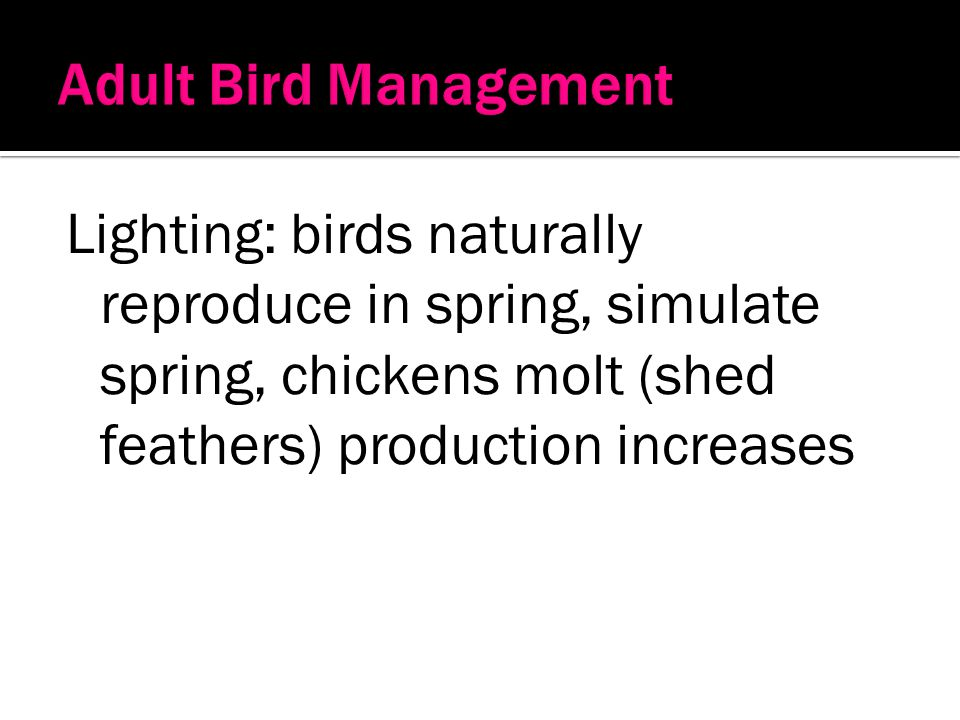 Adult Bird Management Lighting: birds naturally reproduce in spring, simulate spring, chickens molt (shed feathers) production increases.