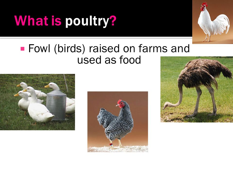 Fowl (birds) raised on farms and used as food
