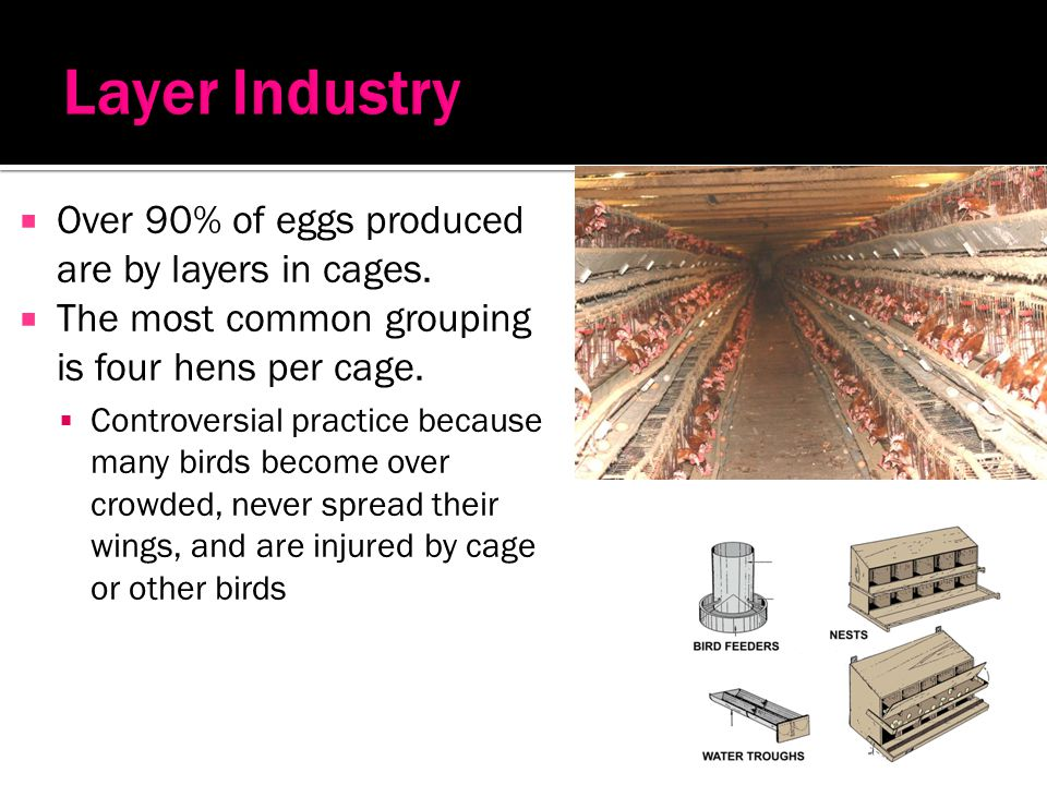 Layer Industry Over 90% of eggs produced are by layers in cages.