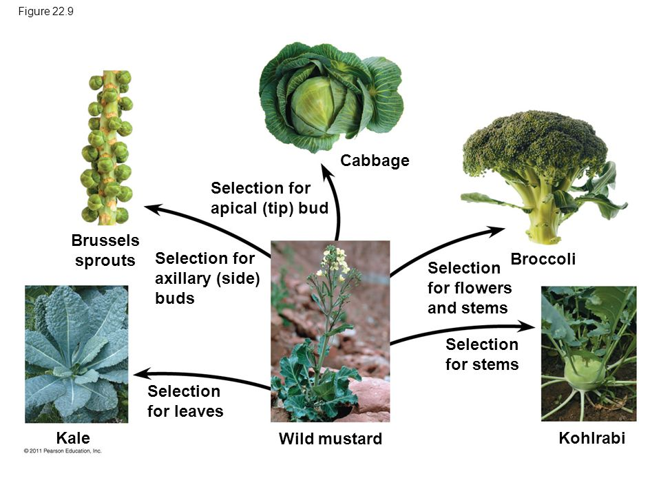 Cabbage Brussels sprouts Broccoli Kale Wild mustard Kohlrabi