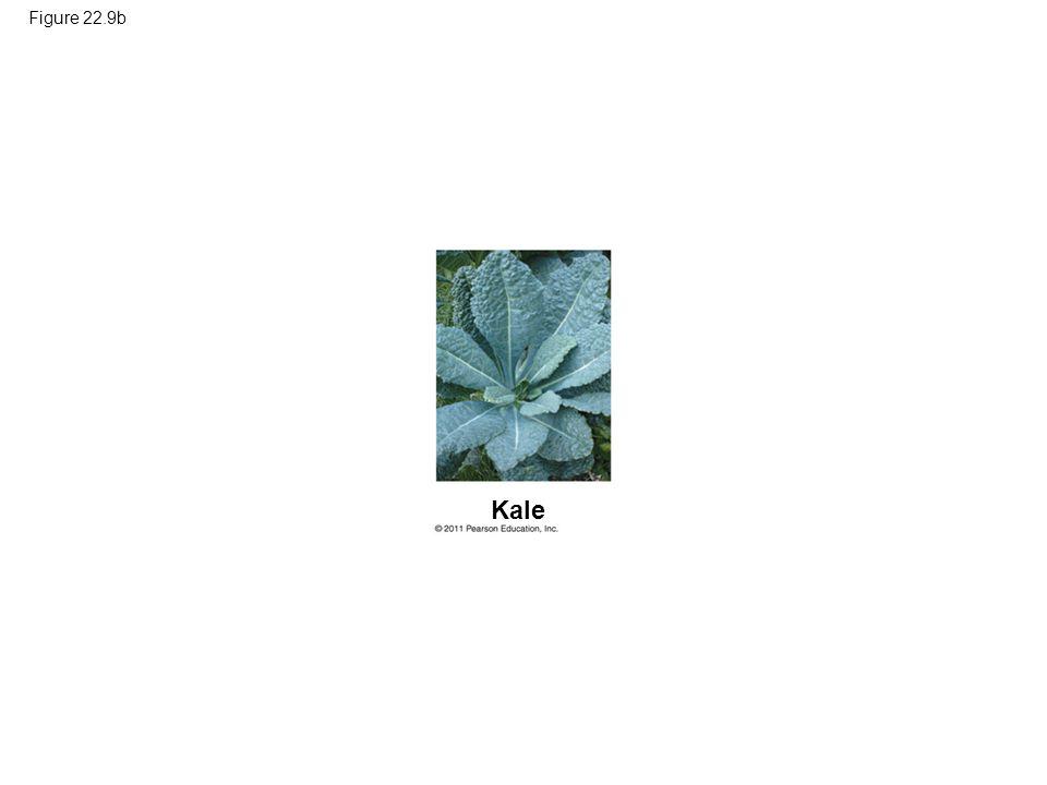 Figure 22.9b Figure 22.9 Artificial selection. Kale