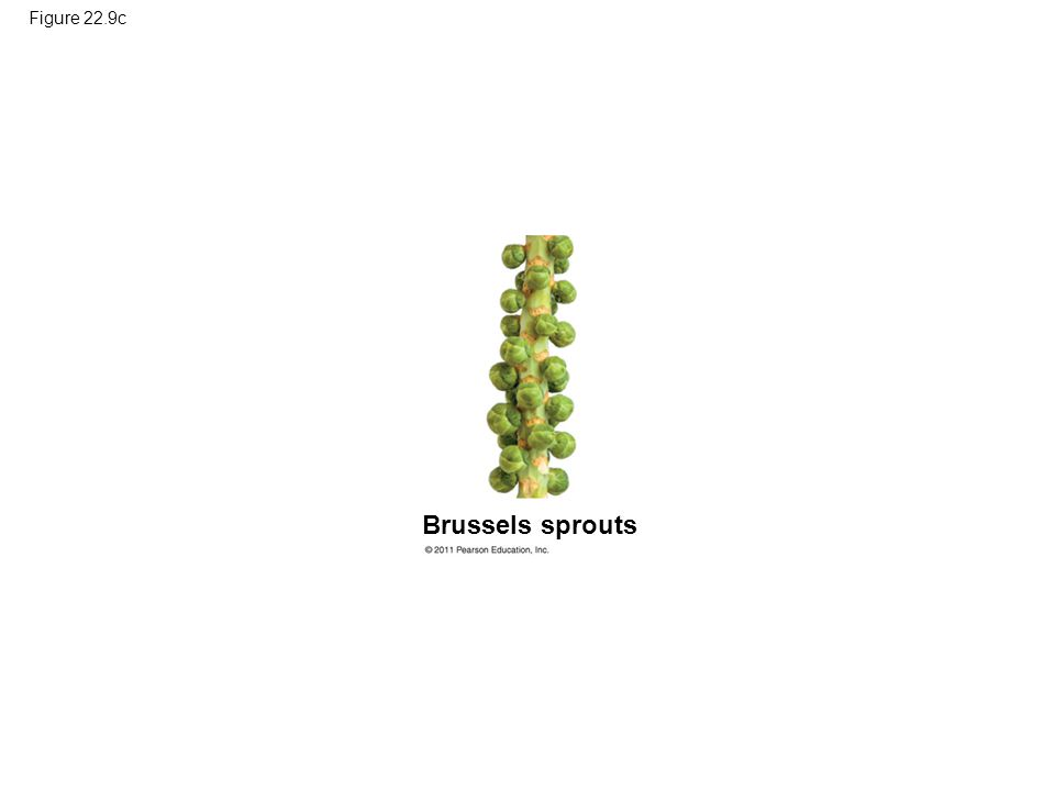 Figure 22.9c Figure 22.9 Artificial selection. Brussels sprouts