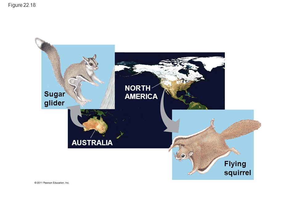 Sugar glider Flying squirrel NORTH AMERICA AUSTRALIA Figure 22.18