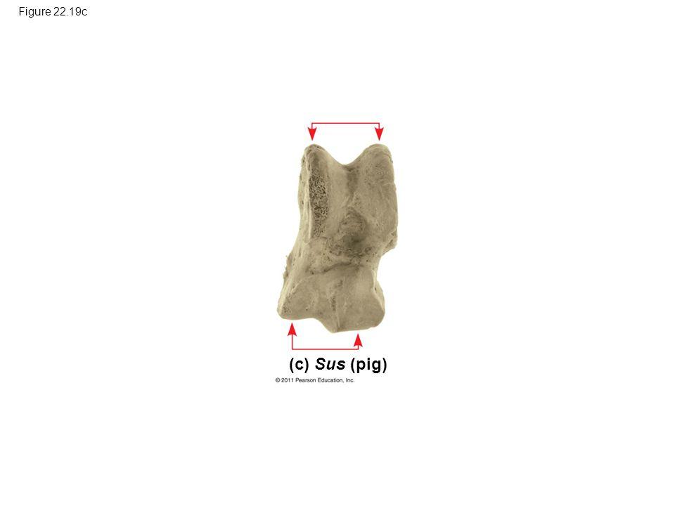 Figure 22.19c Figure 22.19 Ankle bones: one piece of the puzzle. (c) Sus (pig)