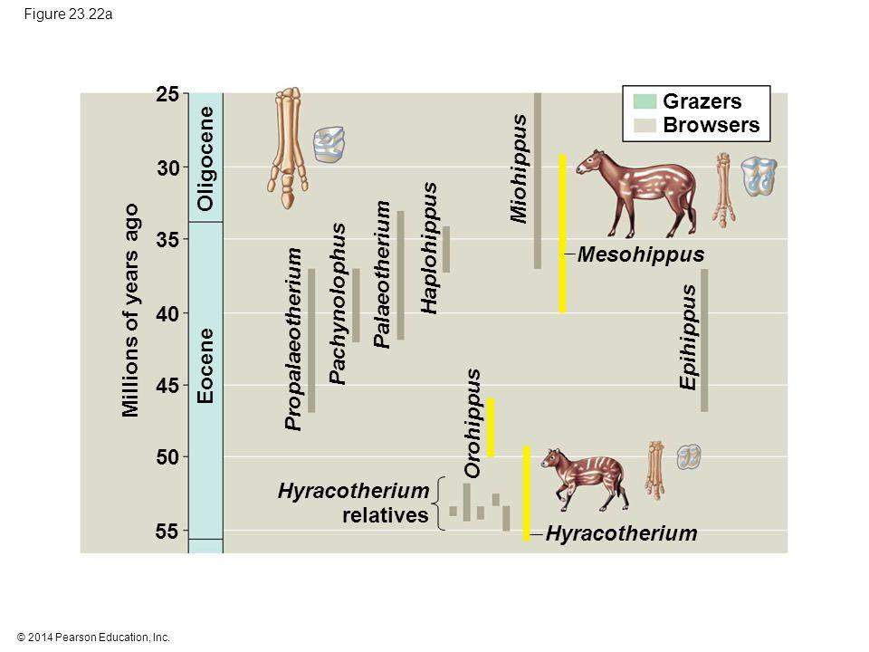 25 Grazers Browsers Oligocene Miohippus 30 Haplohippus 35