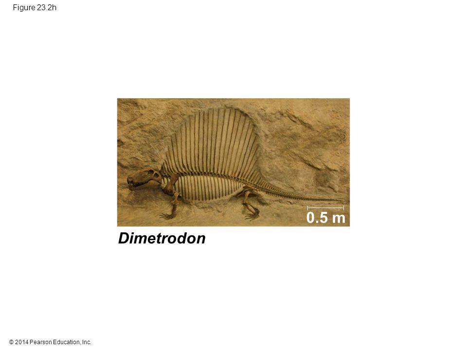 Figure 23.2h 0.5 m Figure 23.2h Documenting the history of life (part 8: Dimetrodon) Dimetrodon 14