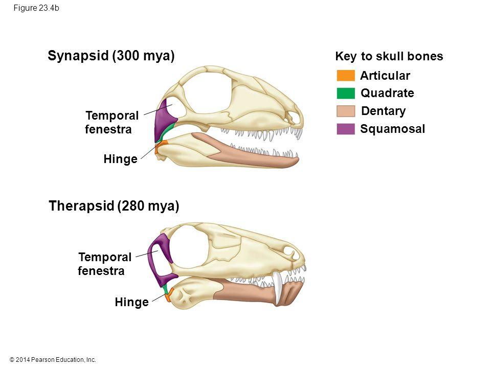 Synapsid (300 mya) Therapsid (280 mya) Key to skull bones Articular